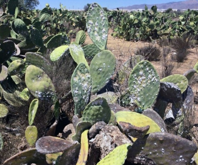 Planracion de Chumberas afectadas por la plaga de la cochinilla