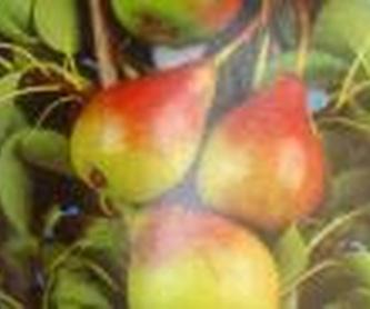 Coníferas: Plantas y complementos de Viveros Cidoncha