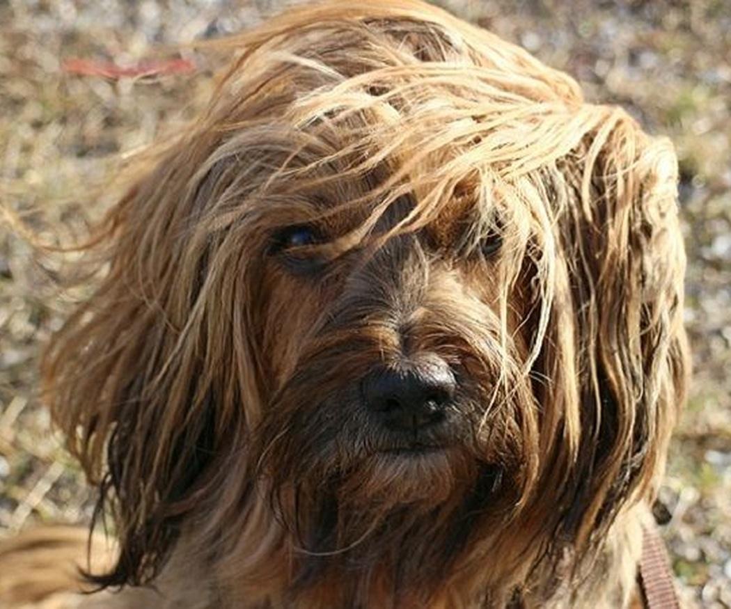 ¿Cómo cuidar los diferentes tipos de pelo de perro?