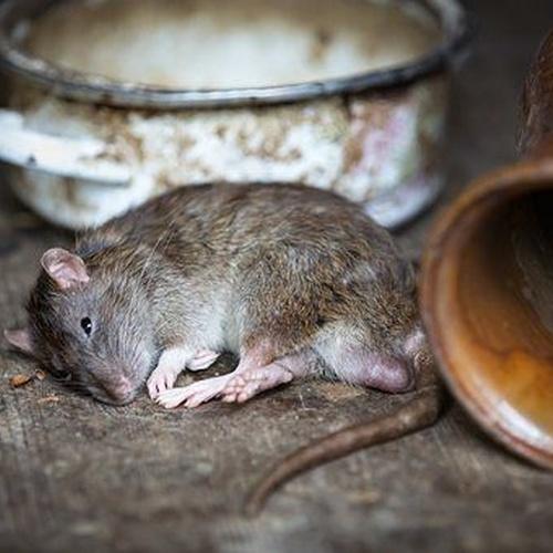 Actuación rápida contra las plagas de ratas