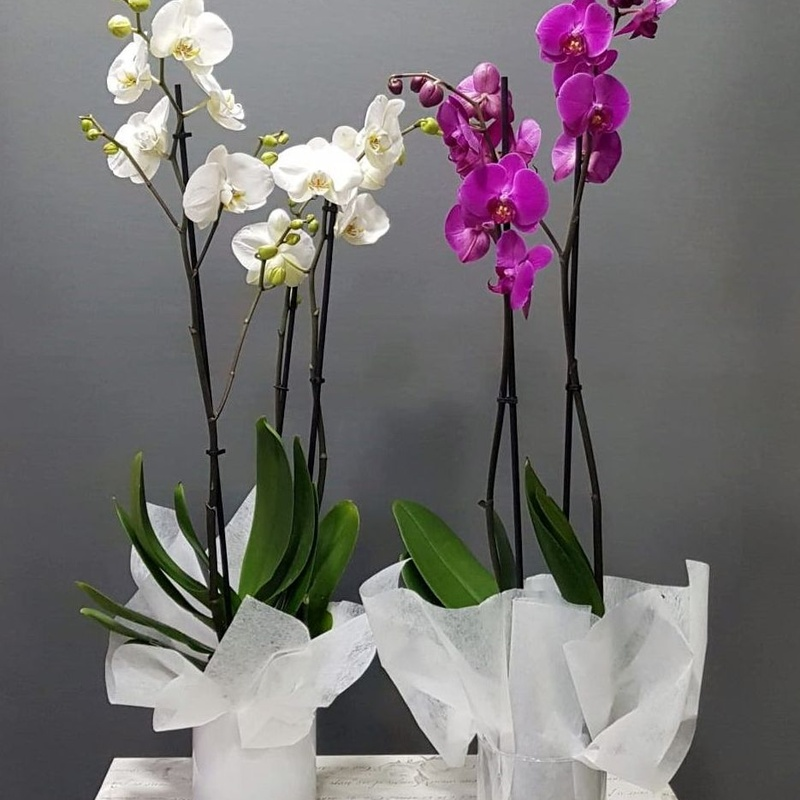 Orquídea Altai