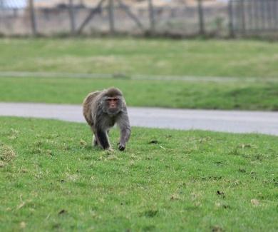 Monos con lesión medular vuelven a caminar con un chip inalámbrico que conecta cerebro y extremidade