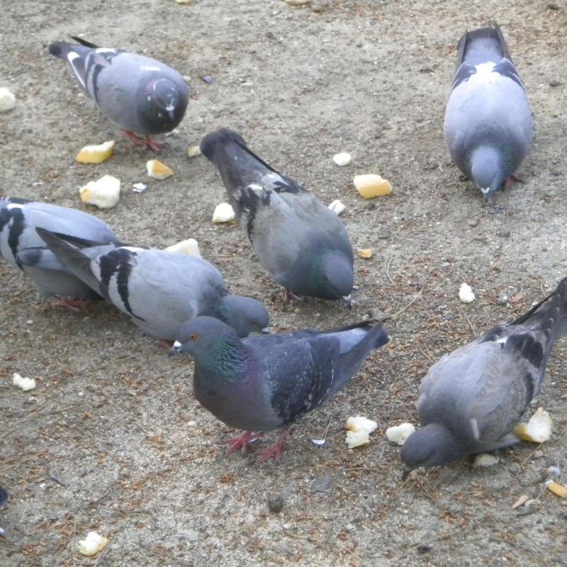 Eliminación de palomas