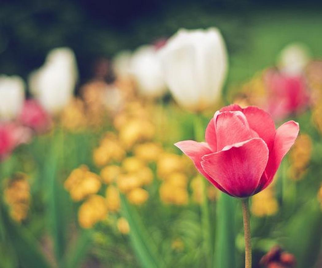 La curiosa historia del tulipán
