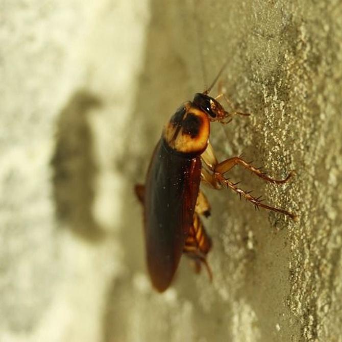 ¿Sabías que las cucarachas también provocan asma?