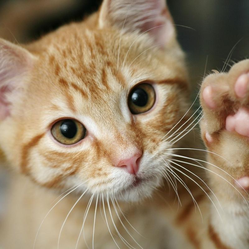 Esterilización gatos: Servicios y tratamientos de Centro Veterinario Ifach
