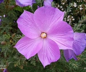 Detalle flor Alyogyne