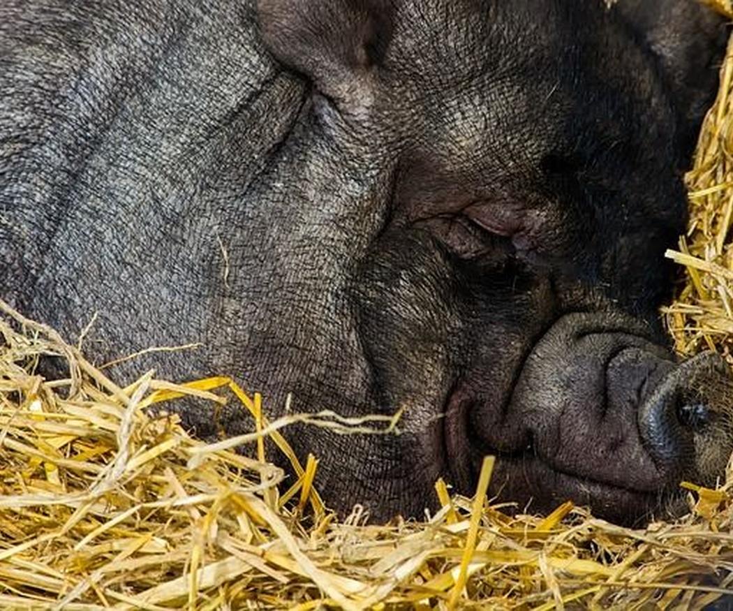 7 cosas que desconocías del cerdo ibérico