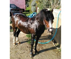 Trabajo de peluquería para un caballo enano