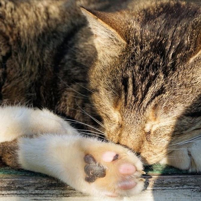 El riesgo de contraer leucemia felina
