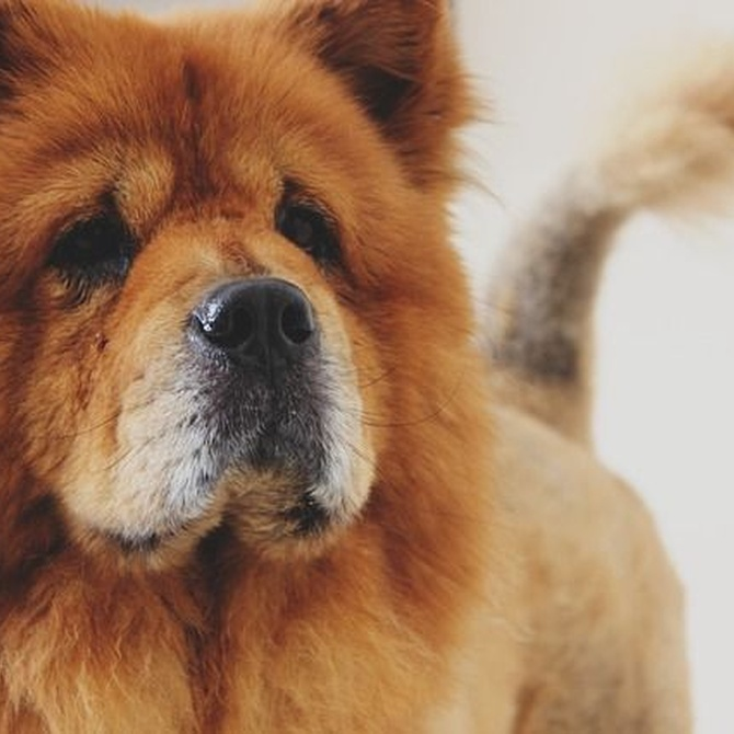 Las razas de perro con más pelo