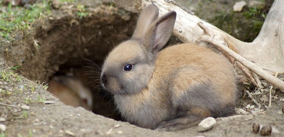 Control de plagas en el Corredor del Henares para evitar los conejos