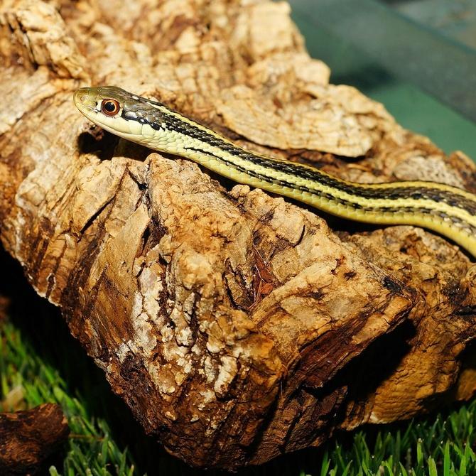 Cuidados esenciales para las serpientes en casa
