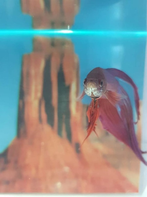 MILA BIERZOO BETTAS