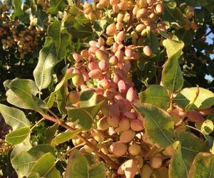 Arbusto, lavanda, espliego, planta de fresa..en Pinarejo, Segovia
