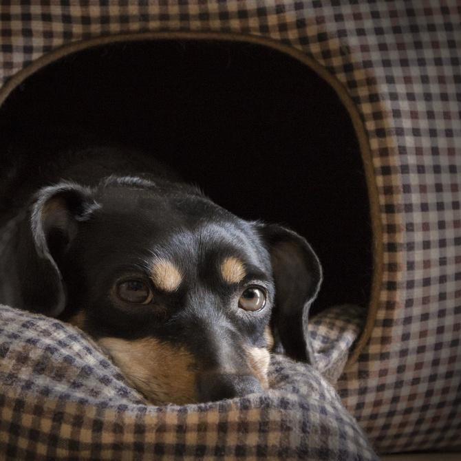 4 de las enfermedades más peligrosas en perros