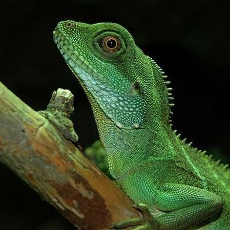 Dragón de agua chino o Physignathus cocincinus: Catálogo de Reptil Parc