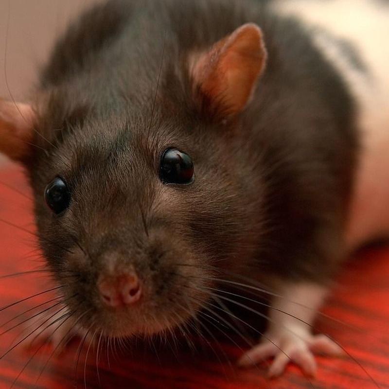 Rodent control: Services de Desinfecciones Ibiza