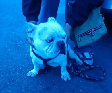 Bulldog fránces busca hogar (adoptado)