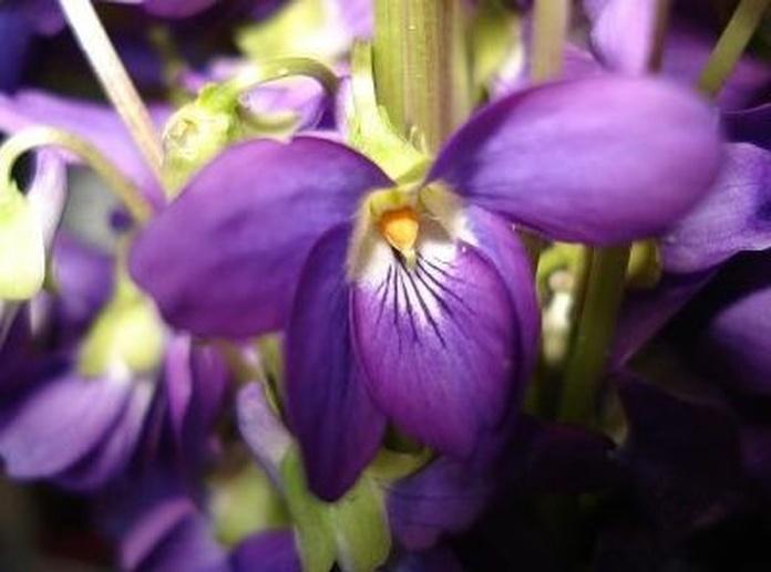 Violeta: Catálogo de De La Hoz Plantas y Flores