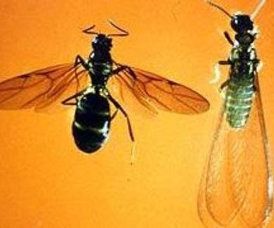 ¿Hormigas o termitas aladas?