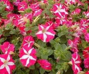 Petunia hybrida Ct. 0,54 L