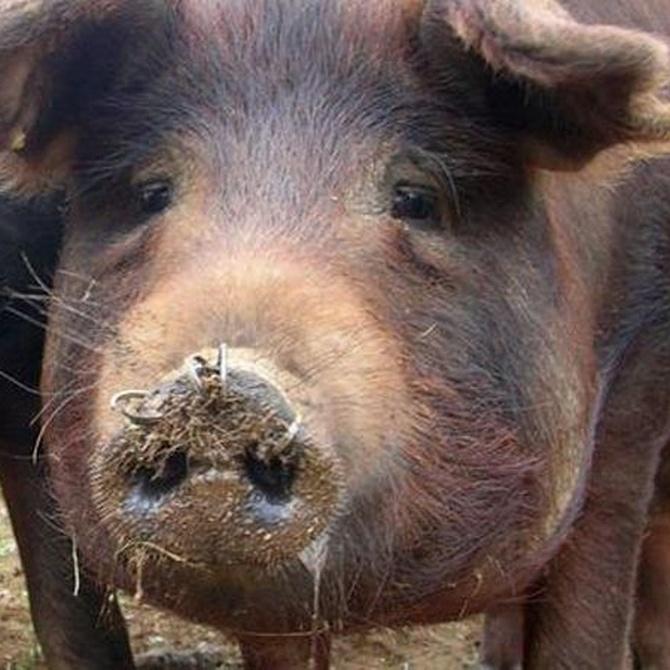 Conoce mejor el cerdo ibérico