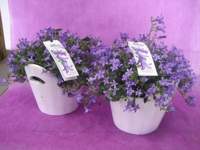Campanula : Nuestras flores de Bouquet Flores y Plantas