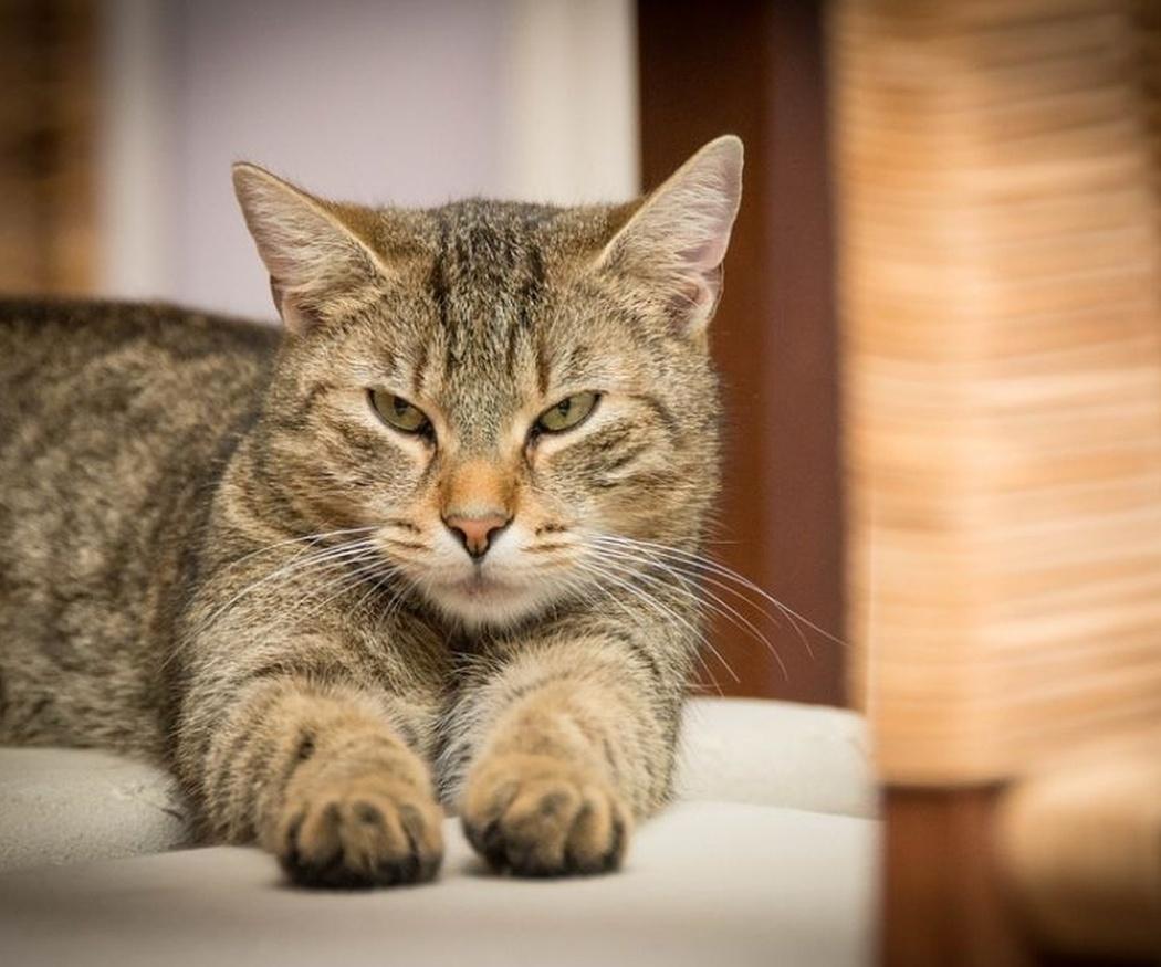 Trucos para que tu gato haga caso al rascador