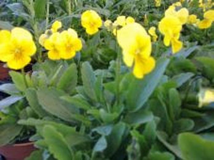 VIolas: Catálogo de De La Hoz Plantas y Flores