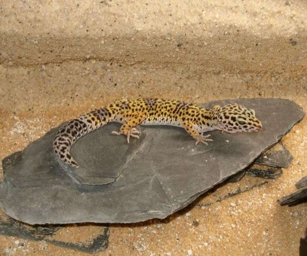 Los cuidados de los geckos