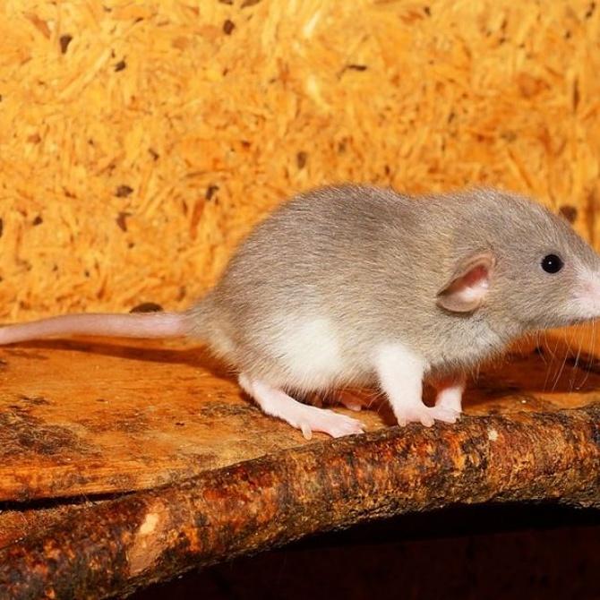 Enfermedades que transmiten ratas y ratones