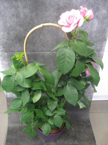 Rosal Rosita : Nuestras flores de Bouquet Flores y Plantas