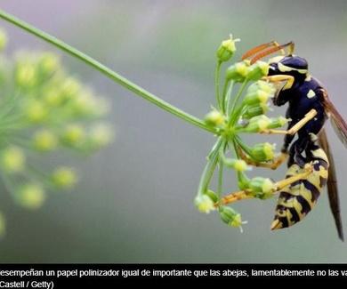 ¿Por qué amamos a las abejas pero odiamos las avispas?