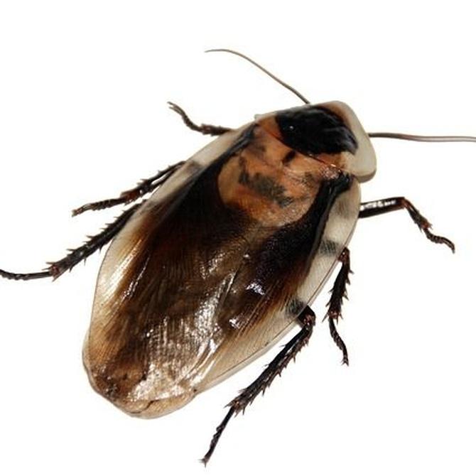 Distintos tipos de cucarachas