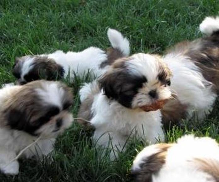 Cachorros de raza Vitoria