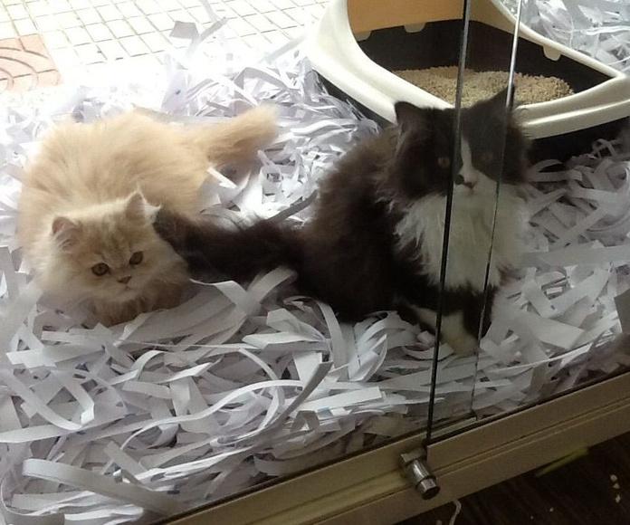 Gatos persas en oviedo