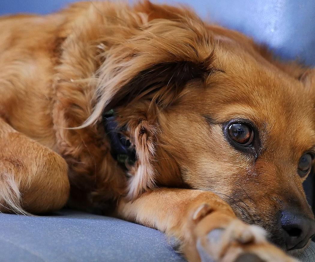 Estos son los síntomas del embarazo psicológico en perras