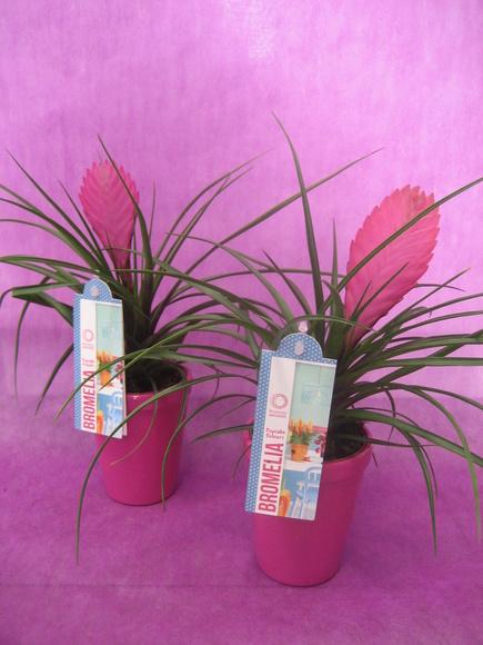 Tillandsia : Nuestras flores de Bouquet Flores y Plantas