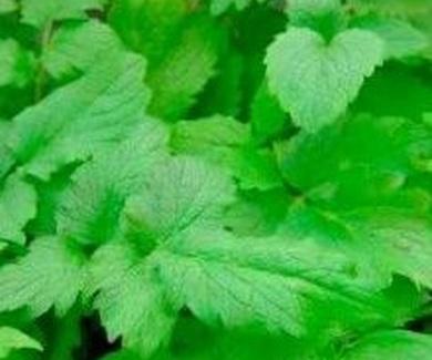 Valeriana Ref. 2 Medicinales