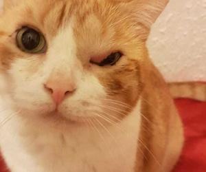 Can Exprés servicio veterinario a domicilio Zaragoza. Botas presenta inflamación de párpado con obstrucción de glándulas alrededor del ojo, nada que no se pueda solucionar, en este caso quirúrgicamente