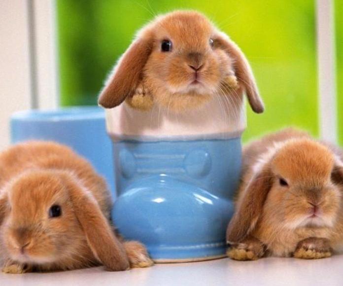 La esterilización antes del año de edad mejora la calidad de vida y la supervivencia del conejo