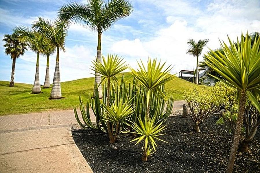 ¿Por qué plantar palmera canaria?