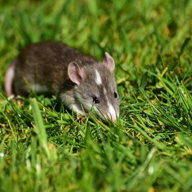 Cómo detectar si tenemos ratas en casa