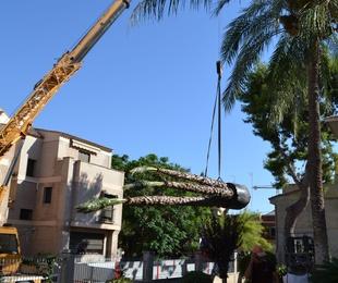 Trasplante de palmeras.