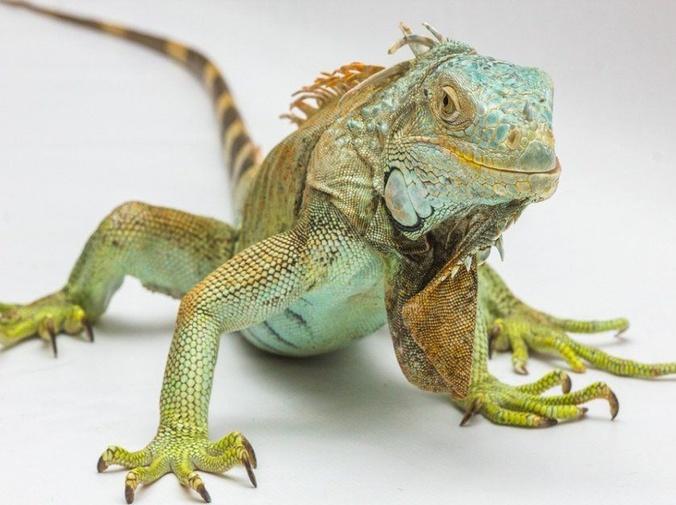 El estreñimiento de las iguanas