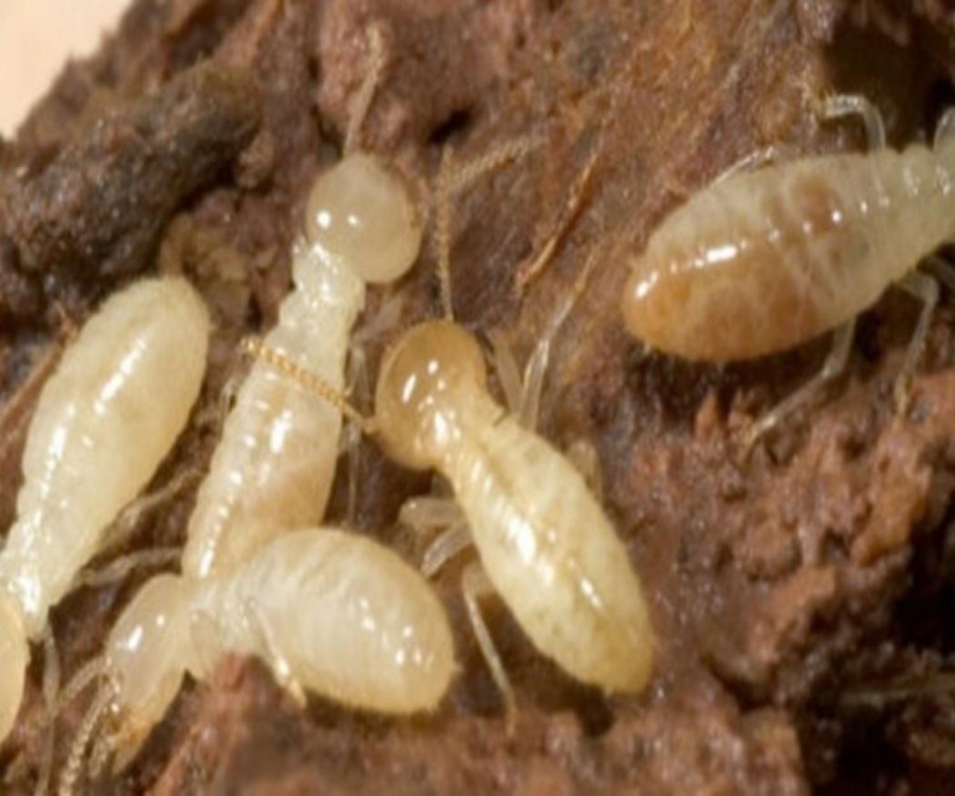 Cómo detectar termitas de la madera