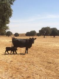"""Vacuno de calidad en Ávila: carnes Naturcasa ve nacer su segundo ejemplar Angus (""""Aberdeen Angus"""")"""