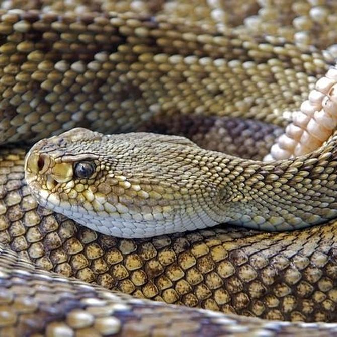 ¿Sabes que todas las serpientes son carnívoras?