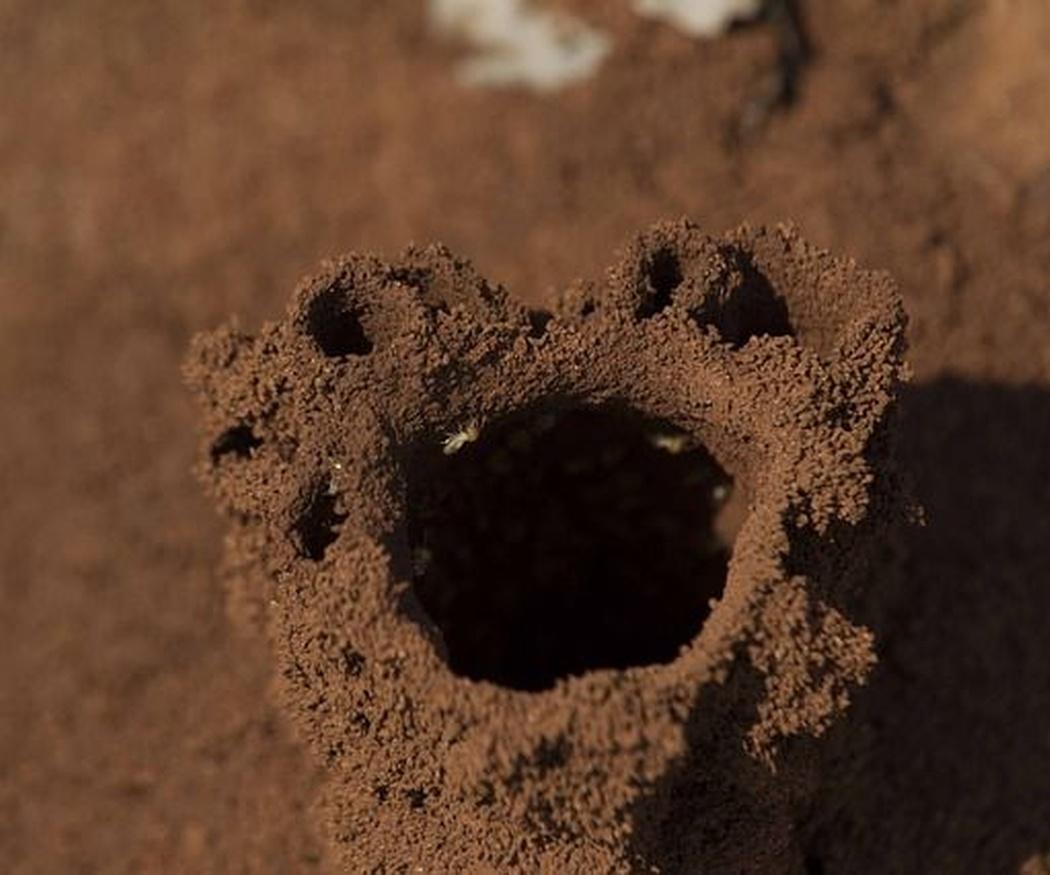 ¿Sabes cuáles son los tipos de termitas?